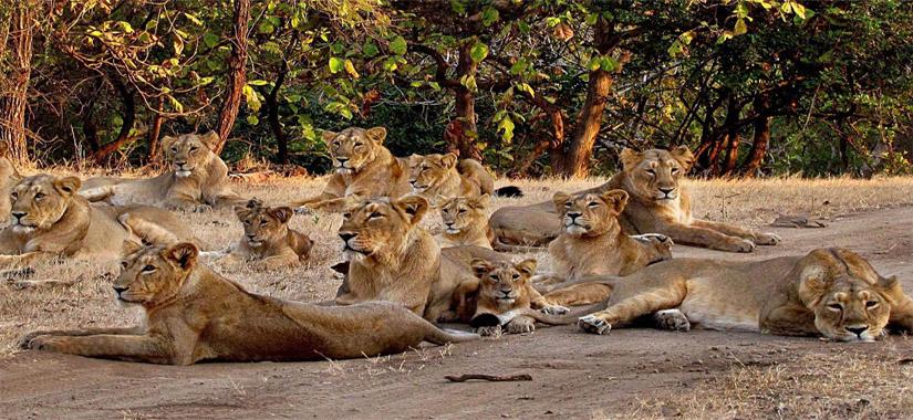 Gujarat, sur les traces du lion d'Asie
